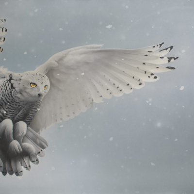Snowy Owl Day Light to Black Light